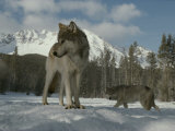Gray Wolf  Canis Lupus  Stands in Snow as Another Circles Nearby