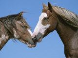 Spanish Mustang Stallions Touching Noses