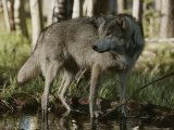 Gray Wolf  Canis Lupus  Stops at a Woodland Stream