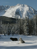 Couple of Gray Wolves  Canis Lupus  Enjoy a Snowy Mountain Meadow