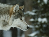 Snow Flakes Dust the Nose of a Gray Wolf  Canis Lupus