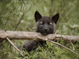Nine-Week-Old Gray Wolf Pup  Canis Lupus  Peers Over a Log