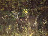 Male White-Tailed Deer in a Sun-Dappled Manitoba Forest