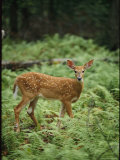 White-Tailed Fawn Stands in a Forest Blanketed in Ferns
