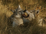 Fourteen-Week-Old Gray Wolf Pups  Canis Lupus  Jaw Spar