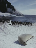 Crabeater Seal Basks Near a Group of Adelie Penguins
