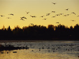 Flock of Geese Flies Over a Manitoba Lake at Sunset