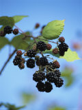 Cluster of Blackberries Ripen on a Vine