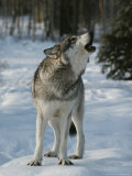 Gray Wolf  Canis Lupus  Howling