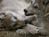Fourteen-Week-Old Gray Wolves  Canis Lupus  Play with Each Other