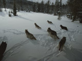 Pack of Gray Wolves  Canis Lupus  Gather to Get Ready For a Hunt