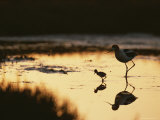 An American Avocet and Her Chick Wade in a Marsh at Sunrise