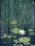 Flowering Water Lily in Black Moshannon State Park