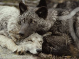 Twenty-Week-Old Gray Wolves  Canis Lupus  Rest Together