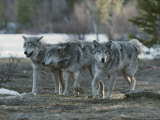 Trio of Gray Wolves  Canis Lupus  Stroll Their Territory