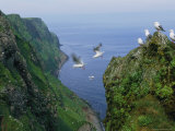 Kittiwakes on High Cliffs and in the Air Along Alaska's Rugged Coast