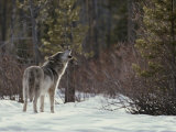 Lone Gray Wolf  Canis Lupus  Howls at the Edge of a Forest