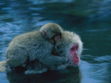Japanese Macaque  or Snow Monkey  with a Baby in a Hot Spring