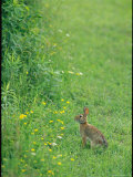 Cottontail Rabbit in an Allegany State Park Field