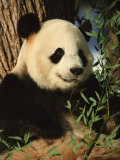 Close View of a Panda Eating Bamboo