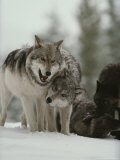 Winter Portrait of a Couple of Gray Wolves  Canis Lupus
