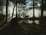 Gray Wolf  Canis Lupus  in Silhouette Passes By a Woodland Pond