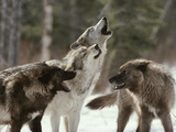 Group of Gray Wolves  Canis Lupus  Howl in Unison