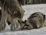 The Alpha Male Gray Wolf  Canis Lupus  Dominates the Omega Wolf