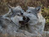Eighteen-Week-Old Gray Wolves  Canis Lupus  Jaw Spar with Each Other