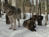 Trio of Gray Wolves  Canis Lupus  Rest in a Snowy Landscape
