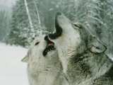 An Alpha Male Gray Wolf  Canis Lupus  Howls and the Beta Submits