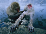 Two Japanese Macaques  or Snow Monkeys  Enjoy a Dip in a Hot Spring