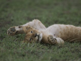 An African Lion Cub Rolls on Its Back