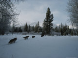 Group of Gray Wolves  Canis Lupus  Follow a Trail Through the Snow