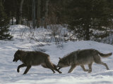 Pair of Gray Wolves  Canis Lupus  Run Through a Snowy Landscape