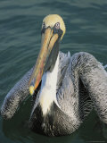 Close View of a Brown Pelican