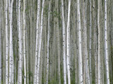 Aspen Tree Trunks in Summer