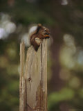 Squirrel Chews on a Nut Atop a Fence Post