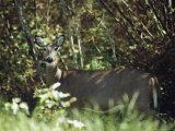 White-Tailed Deer on the Edge of a Sun-Dappled Manitoba Forest