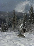 Gray Wolf  Canis Lupus  Enjoys a Snowy Mountain Meadow