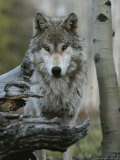 Beautiful Portrait of a Gray Wolf  Canis Lupus