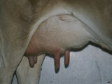 Close View of a Full Udder Waiting to Be Milked
