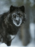 Snow Flakes Cover the Face of a Black-Colored Gray Wolf  Canis Lupus