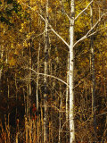 Aspen Trees with Autumn Foliage in Whiteshell Provincial Park