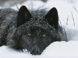 Covered with Snow Flakes  a Gray Wolf  Canis Lupus  Rest in More Snow