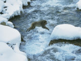 Japanese Macaque  or Snow Monkey  Leaps Across a Rushing Stream