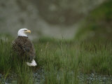 An American Bald Eagle in Grass