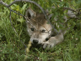 An 8-Week-Old Gray Wolf Pup  Canis Lupus  Peers From a Hiding Spot