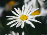 Close View of a Wild Daisy