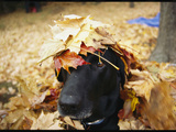 Black Lab Named Blackie Plays in a Pile of Leaves